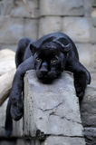 Black jaguar. Taking a rest Stock Images