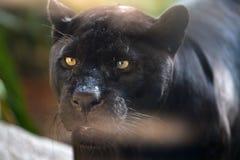 Black jaguar. Close-up portrait outdoor Stock Photo