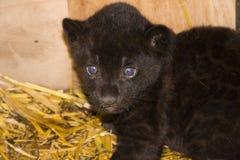 Black jaguar cub (Panthera onca). A month old black jaguar cub Stock Images