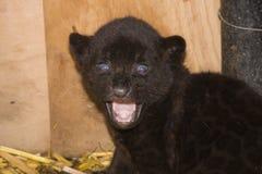 Black jaguar cub (Panthera onca). A month old black jaguar cub stock photo