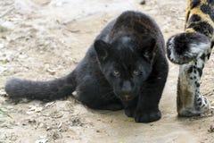 Black jaguar cub Stock Images