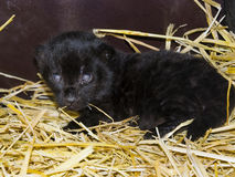 Black jaguar cub stock photography