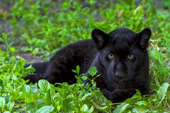 Black Jaguar Cub stock photo
