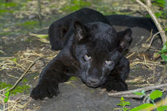Black Jaguar Cub royalty free stock images