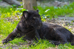 Black Jaguar Cub royalty free stock photos