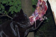Black Jaguar Lunch Stock Images