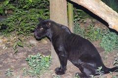 Black jaguar at night Stock Photo