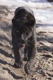 Black jaguar (Panthera onca). A walking black jaguar male royalty free stock image