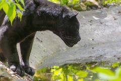 Black jaguar (Panthera onca) Royalty Free Stock Photography