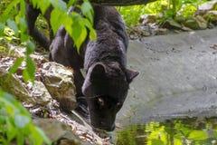 Black jaguar (Panthera onca) royalty free stock photos