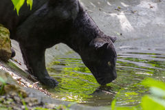 Black jaguar (Panthera onca) Stock Photos
