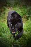 Black jaguar Panthera Onca prowling Royalty Free Stock Image