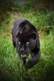 Black jaguar Panthera Onca prowling. Through long grass in captivity Royalty Free Stock Image