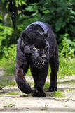 Black Jaguar - walking towards viewer - split toned Royalty Free Stock Photography
