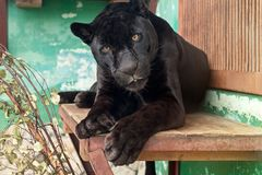 Black Jaguar in the Yekaterinburg Zoo Stock Image