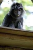 Black Javan Langur. On tree branch Royalty Free Stock Photos