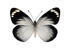 Black Jezebel Butterfly Royalty Free Stock Images