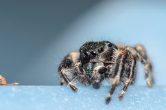Black Johnson Jumping Spider. With a Blue Background Royalty Free Stock Photography