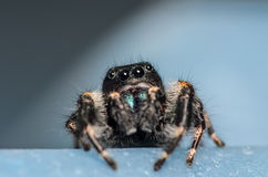 Black Johnson Jumping Spider. With a Blue Background Royalty Free Stock Photo