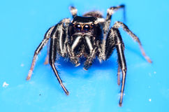 Black Jumping Spider. On a Blue Surface Stock Image