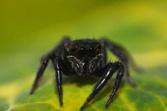 Black Jumping spider Royalty Free Stock Images