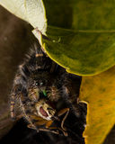 Black Jumping Spider Eats Fly with Red Eyes Stock Photo