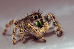 Black Jumping Spider on Gray Surface Stock Photos