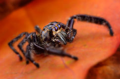 Black Jumping spider Stock Photos