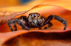 Black Jumping spider Stock Images