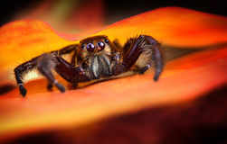 Black Jumping spider Royalty Free Stock Photo