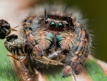 Black Jumping spider with shiny green mouth eats wasp covered in Royalty Free Stock Photography