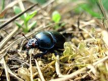 Black June Bug Stock Image