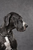 Black junior greatdane Stock Photography