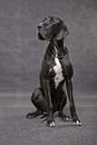 Black junior greatdane Stock Image