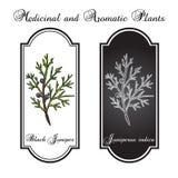 Black juniper Juniperus indica , evergreen medicinal plant. Hand drawn botanical vector illustration Stock Photos