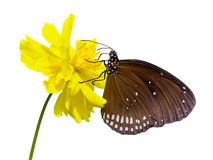 Black Kaiser butterfly ( Penthema binghami ) Stock Images