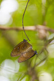 Black Kaiser butterfly ( Penthema binghami ) Stock Image