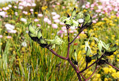 Black Kangaroo Paw Stock Images