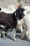 Black kashmir goat from Indian highland farm Royalty Free Stock Images