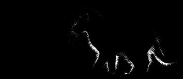 black katten Fotografering för Bildbyråer