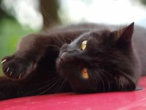 black katten Royaltyfri Fotografi