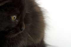 black kattungen Royaltyfri Fotografi