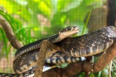 Black keeled rat snake Stock Image