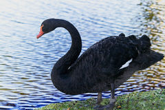 Black King Swan Royalty Free Stock Photo