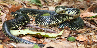 Black Kingsnake (Lampropeltis getula) Stock Photos