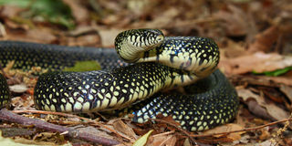 Black Kingsnake (Lampropeltis getula) Stock Photo