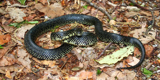 Black Kingsnake (Lampropeltis getula) Royalty Free Stock Image