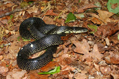 Black Kingsnake (Lampropeltis getula) Stock Photography