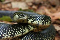 Black Kingsnake (Lampropeltis getula) Stock Images