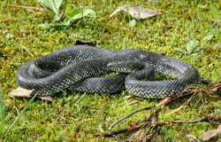 Black Kingsnake Stock Image
